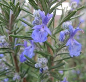 Materia Medica-Rosemary