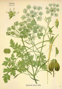 materia medica-parsley